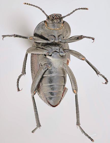 Beetle, ventral - Eleodes tricostata