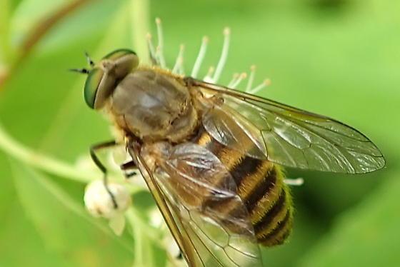 Tabaninae? - Stonemyia tranquilla - female