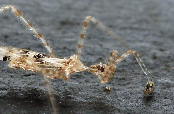 Likely from Genus Stenolemus - Stenolemus lanipes