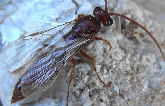 2nd Tiphiid Wasp (on rock) - Colocistis crassa - male