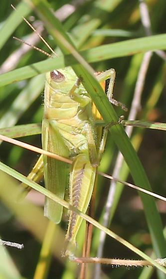 Acrididae - Melanoplus bivittatus - female