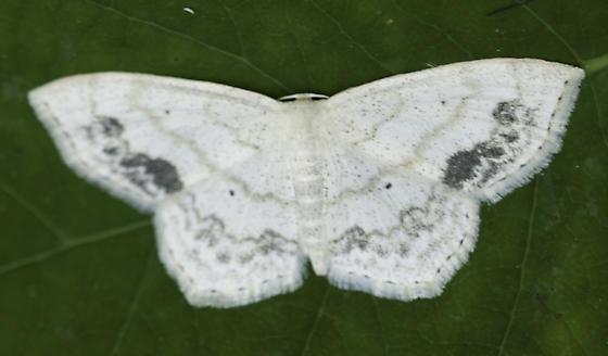ATV trail lace border moth - Scopula limboundata