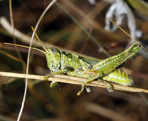 Acrididae intermediate instar - Campylacantha olivacea - male