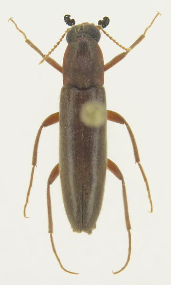 Melittomma sericeum - male