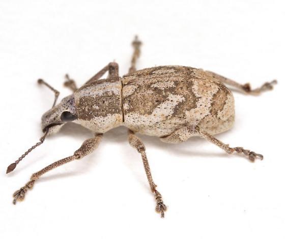 Epicaerus lepidotus Pierce - Epicaerus lepidotus