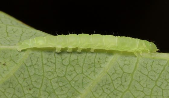 Erebidae, Six-spotted Gray, lateral - Spargaloma sexpunctata