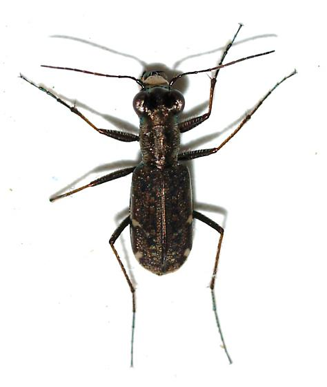Very tiny tiger beetle - Brasiella viridisticta