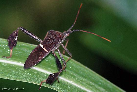 Leaf-Footed Squash Bug - Leptoglossus phyllopus