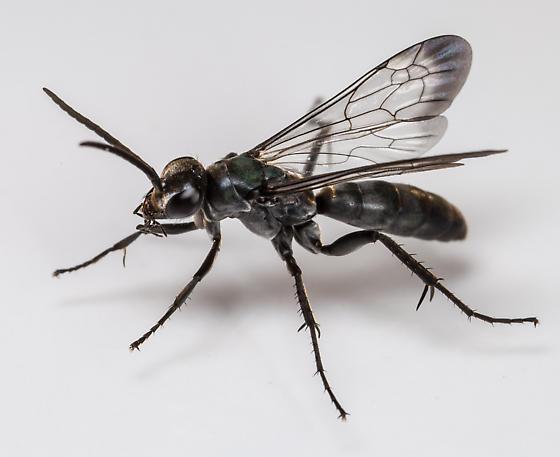 Spider Wasp? - Evagetes - male