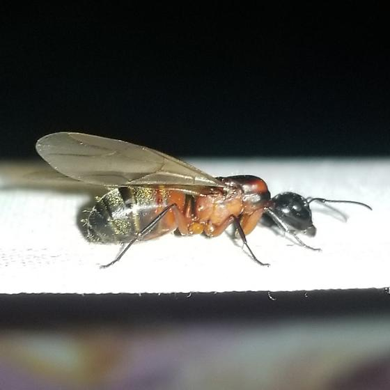 Alate (winged) Ant. - Camponotus chromaiodes