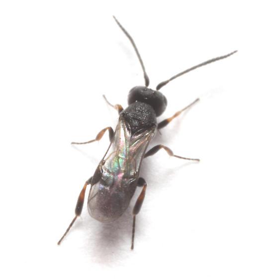 Braconidae, ex Mompha eloisela, dorsal