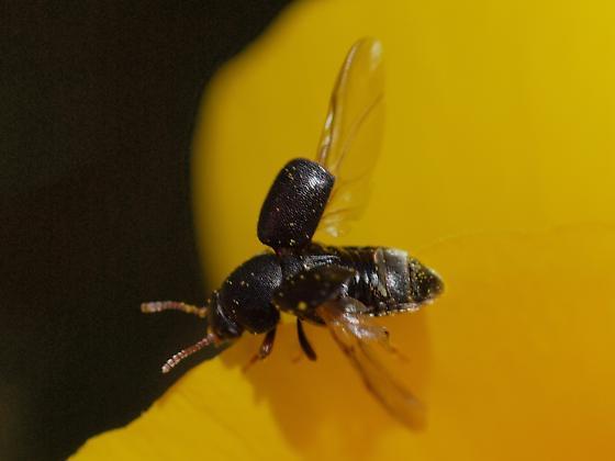 Amartus tinctus