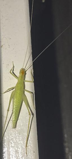 Light-green Hexapod - Oecanthus niveus - female