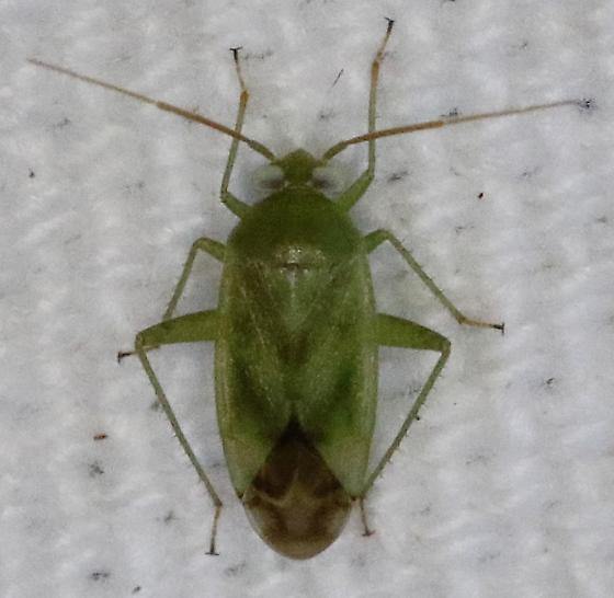 Hopper - Taylorilygus apicalis