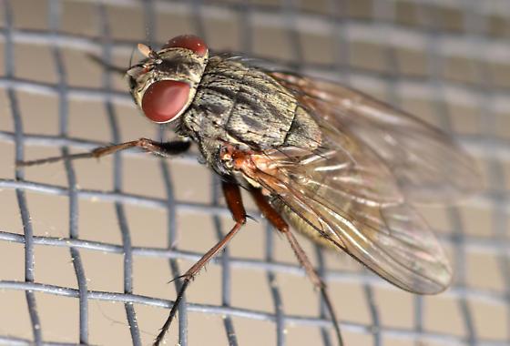 false stable fly - Muscina stabulans - female