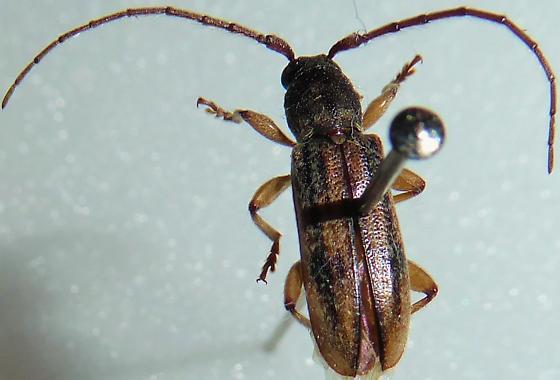 Longhorn Beetle - Anelaphus cinereus