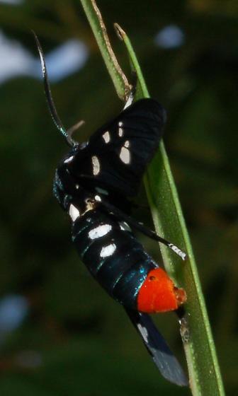 Beautiful Colors - Patriotic - Syntomeida epilais - female