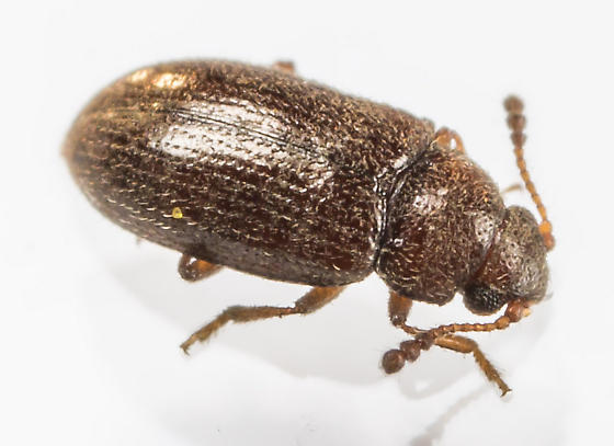 Beetle  - Loberus impressus - female