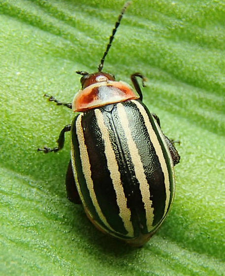 Flea Beetle - Kuschelina petaurista