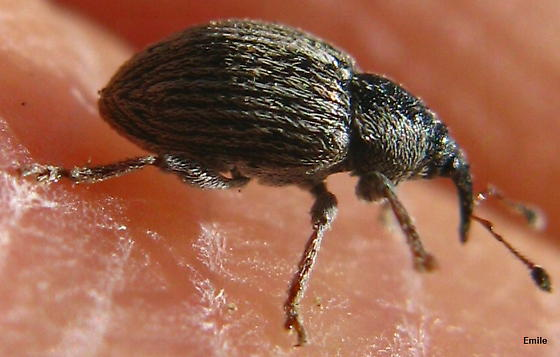 small black regularly punctuated Weevil covered with grey setae with dark red-brown extremities - Tychius lineellus