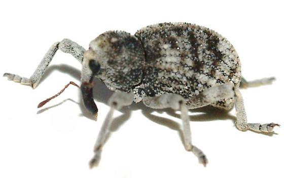 Gersteckeria sp on Cholla - Gerstaeckeria unicolor