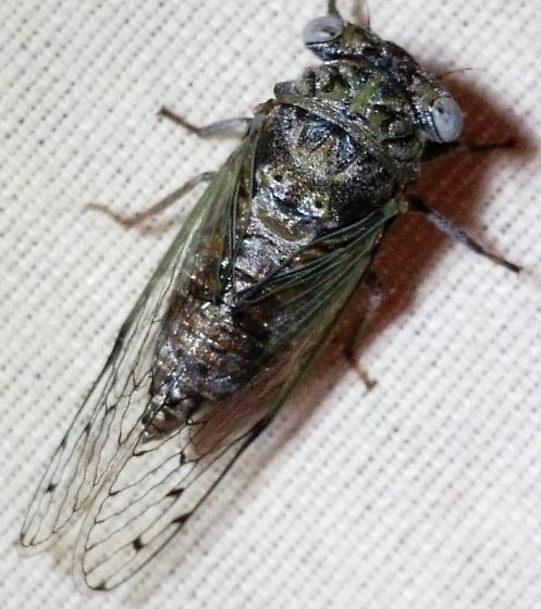Cicada - Pacarina