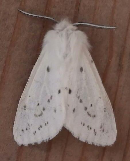 Erebidae: Spilosoma congrua? - Spilosoma congrua