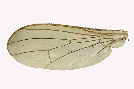 Dung Fly - Cordilura scapularis - female