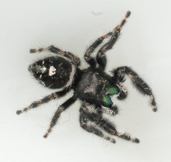 spider unknown01 110605 - Phidippus audax