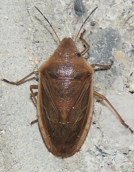 Stinkbug sp? - Chlorochroa senilis