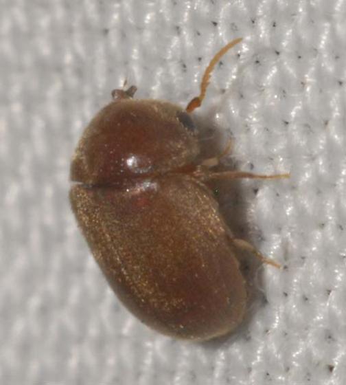 Tiny brown beetle      Lasioderma. Tiny brown beetle      Lasioderma   BugGuide Net