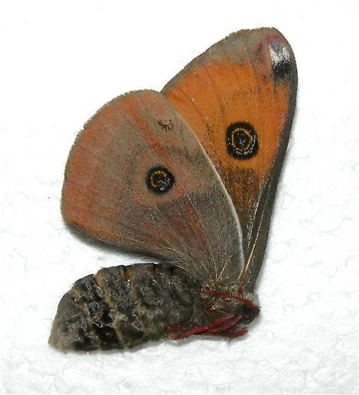 Saturnia (Calosaturnia) mendocino - Calosaturnia mendocino - female