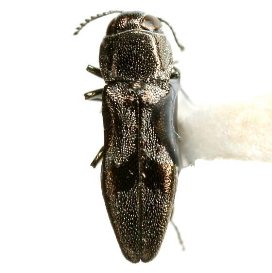Agrilus lautuellus Fisher - Agrilus lautuellus
