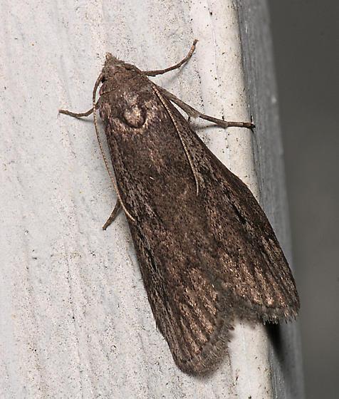 Moth for ID - Aphomia terrenella