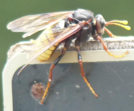 Big waspy critter - Cimbex americana