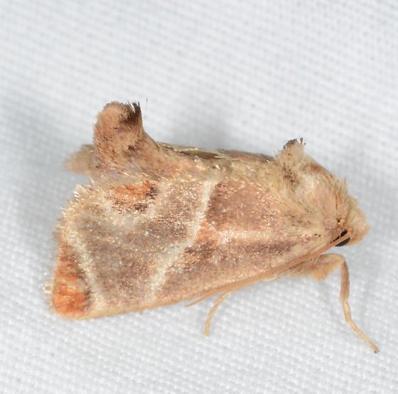 Apoda biguttata - Shagreened Slug Moth - Apoda biguttata