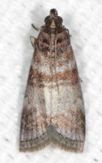 Sciota uvinella - Sweetgum Leafroller - Sciota uvinella