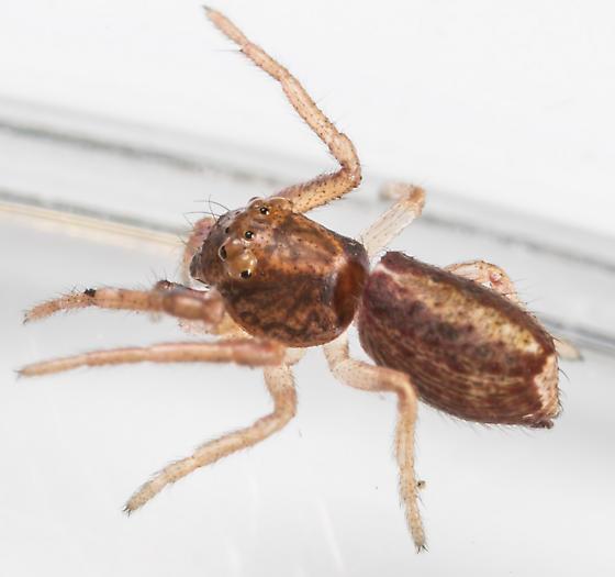 Tmarus minutus - female