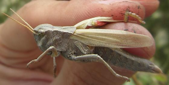 Large grasshopper sp. (Acrididae sp.) - Stethophyma gracilis - female