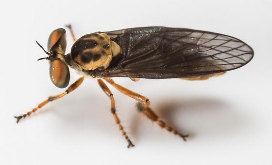 Robber Fly - Holcocephala fusca