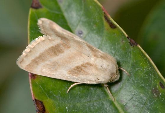 Three-lined Flower Moth - Schinia trifascia