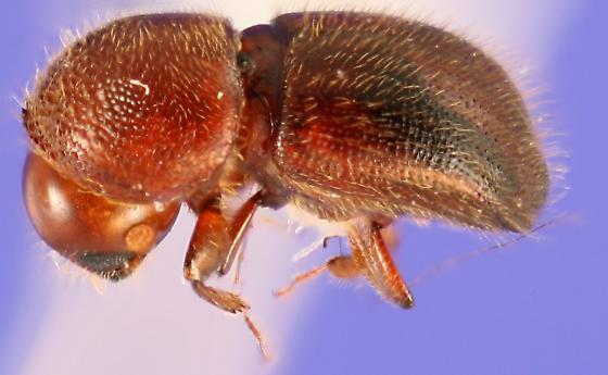 Xylosandrus crassiusculus lateral view - Xylosandrus crassiusculus