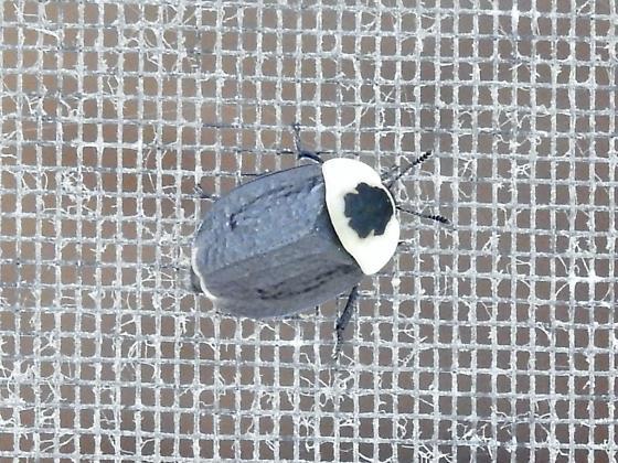 American Carrion Beetle (Necrophila americana)  ? - Necrophila americana