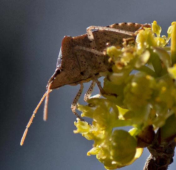 Stink Bug at Spice Bush Grove