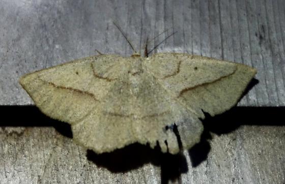 Geometrid Moth, Hemlock Looper? - Euchlaena irraria - female