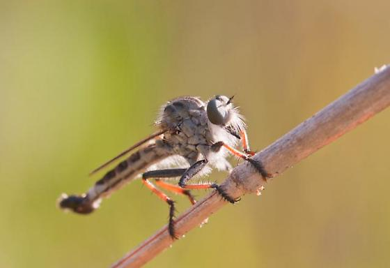 Robber Fly - Efferia apicalis