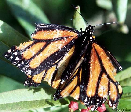 Danaus plexippus (Linnaeus) - Danaus plexippus - female