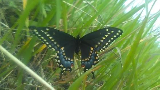 Black Swallowtail (Papilio polyxenes)--I think female? - Papilio polyxenes - female