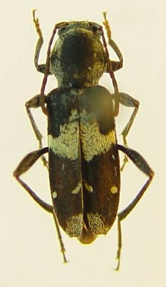 Clytus clitellarius