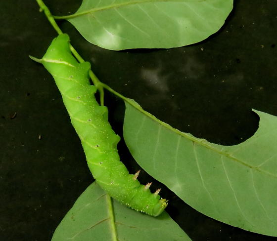 Ash sphinx moth caterpillar - Manduca jasminearum